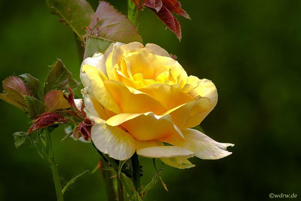 Rose im heimischen Garten