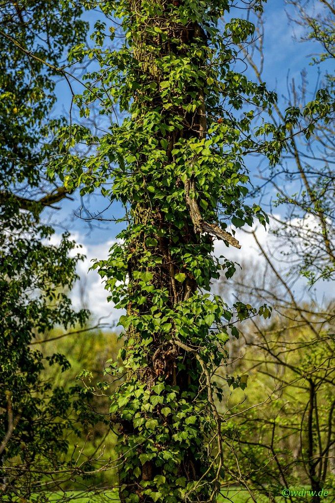 Baum mit Kletterpflanze