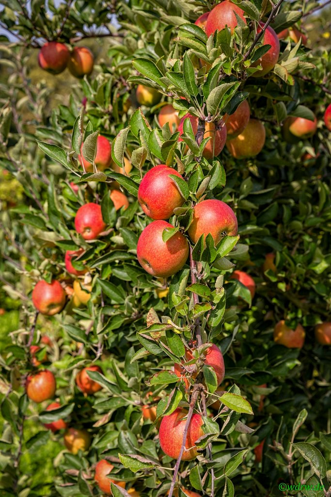 Apfelernte (Obstbau Michael M. Bitz)