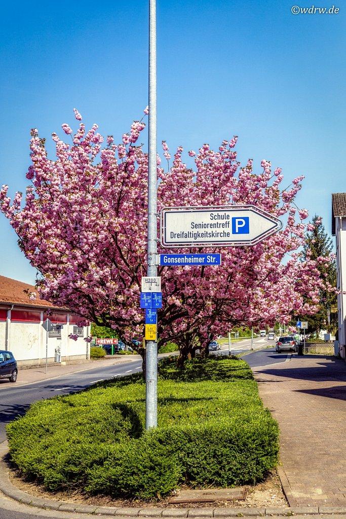 Kirschblüten Bingerstrasse